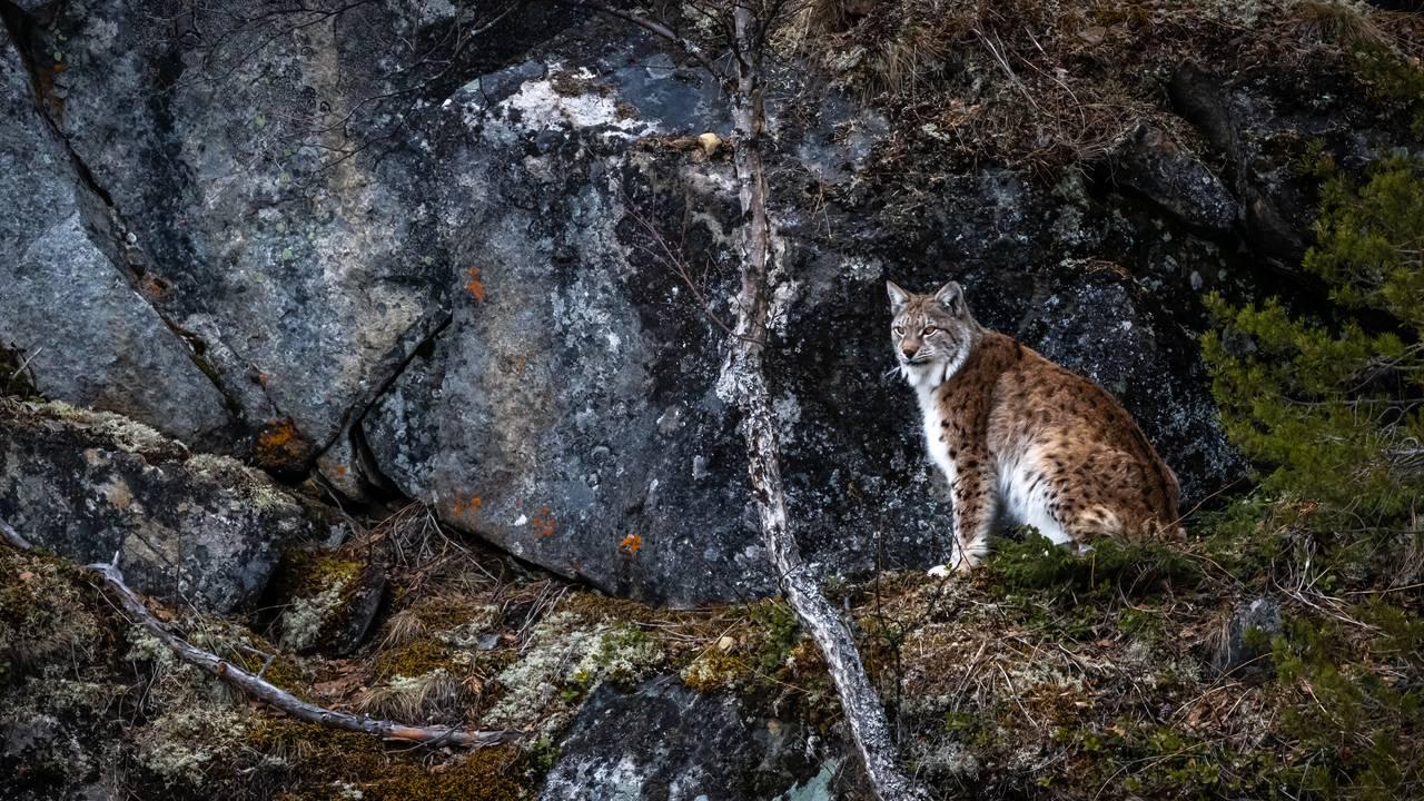 Gaupe i Nordland, fotografert av Frank R. Dahl.