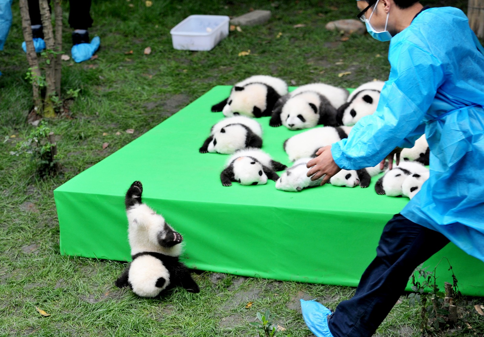 En av de små pandaungene krøp litt for nærme kanten og var uheldig og falt utfor da de 23 kjempepandaungene som er født hittil i år ble vist fram ved forskningsbasen i Chengdu i Kina torsdag denne uken. Heldigvis gikk det bra med pandaungen.