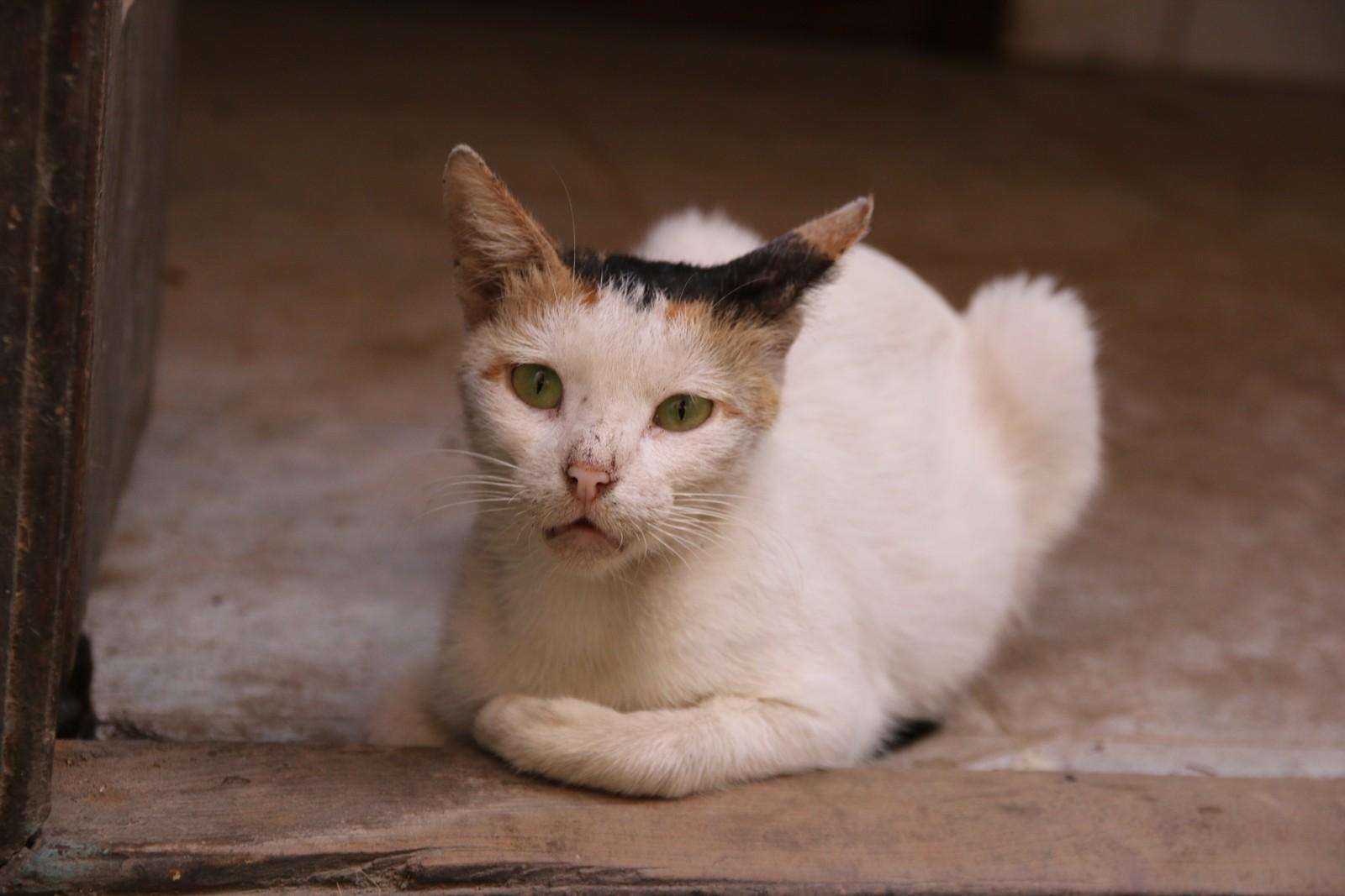 Kattene på Lamu stammer fra antikkens Egypt.
