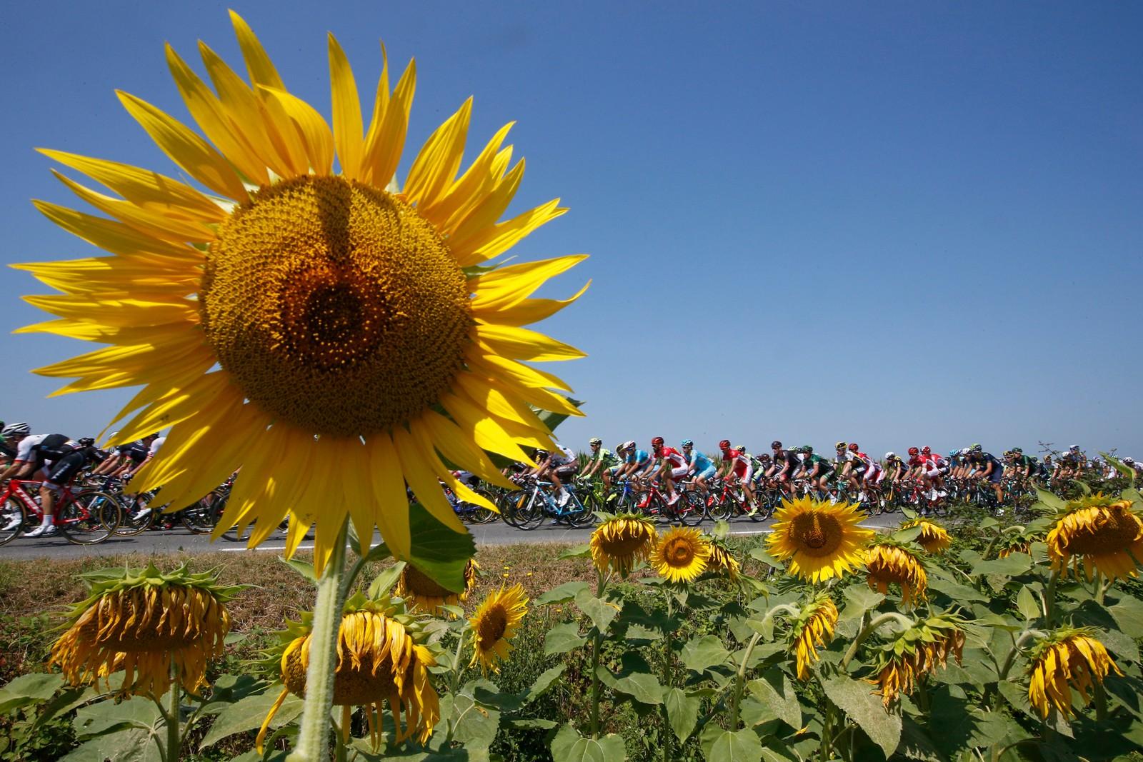 Obligatorisk solsikkebilde. REUTERS/Eric Gaillard