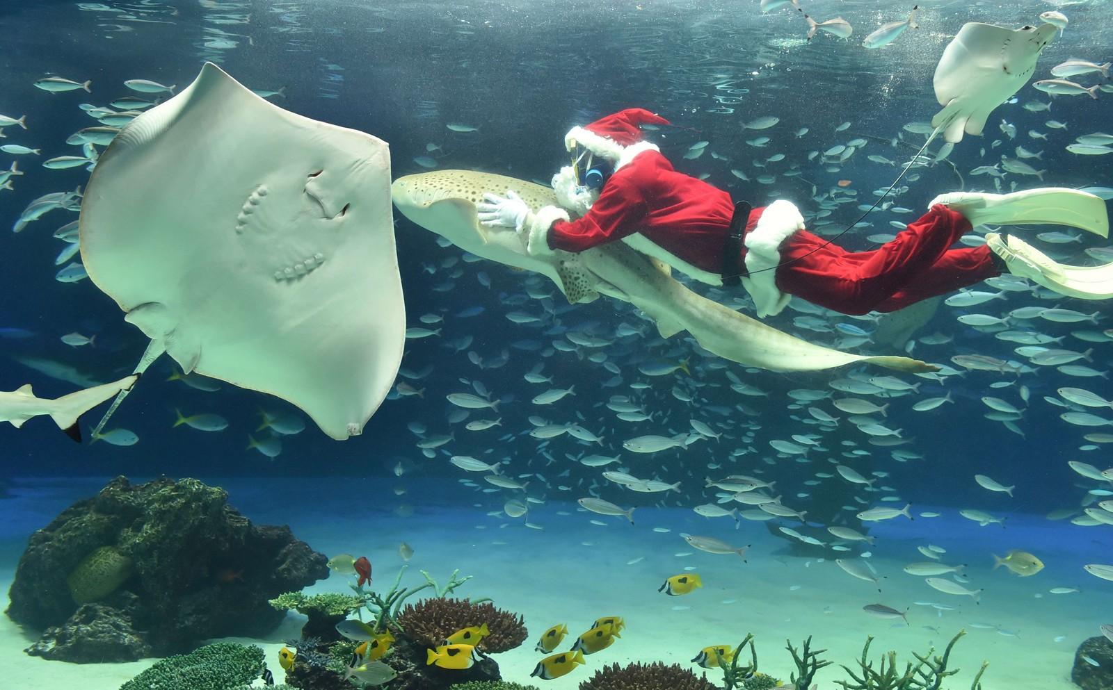 Det begynner å dukke opp mange bilder av julenisser hos bildebyråene nå om dagen. Her er det en nisse som trives som fisken i vannet i akvariet Sunshine i Tokyo. To ganger om dagen underholder han besøkende med et vått juleshow.