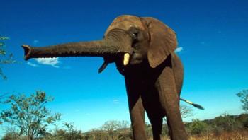 Elefanter har god hukommelse