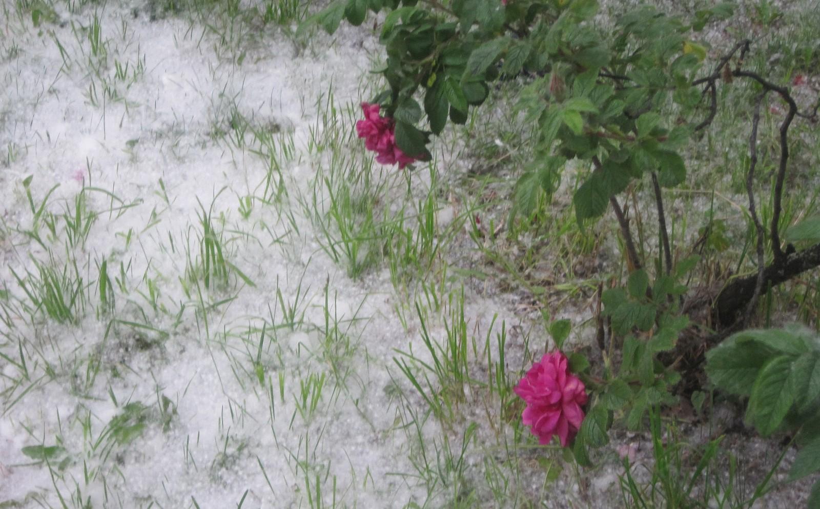 """Blomster-""""fluff"""" fra kjempepopler gir vintermagi ved Døvekirken i Trondheim"""