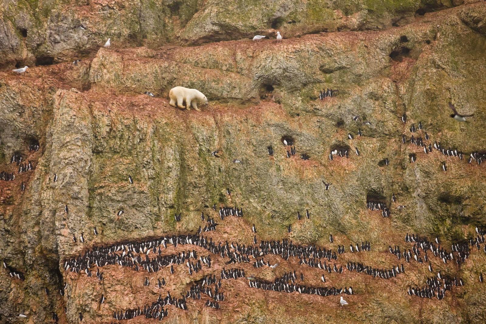 VÅGALT: Isbjørnen fanger småpattedyr, fugl, egg og plantekost når det er dårlig tilgang på større bytte. Her er en stor hannbjørn på klatretur nord på Novaja Semlja i 2012.