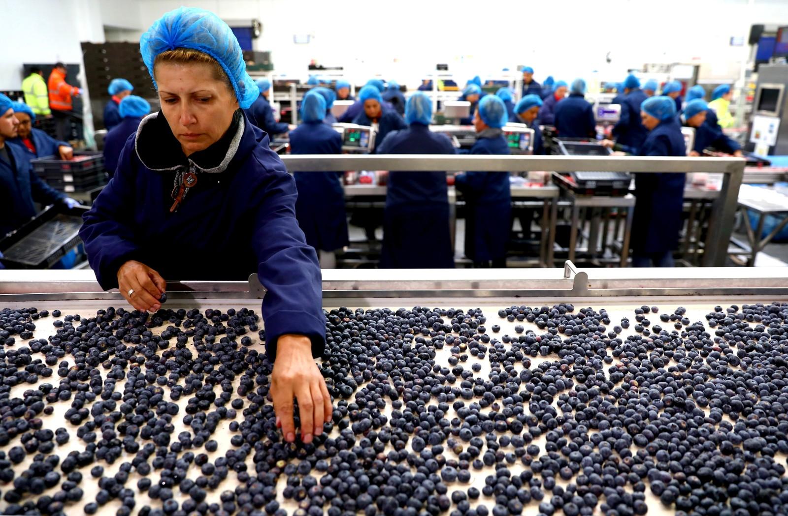 Det er bare blåbær. Her sjekker hun kvaliteten på bærene på en gård i Kent i England.