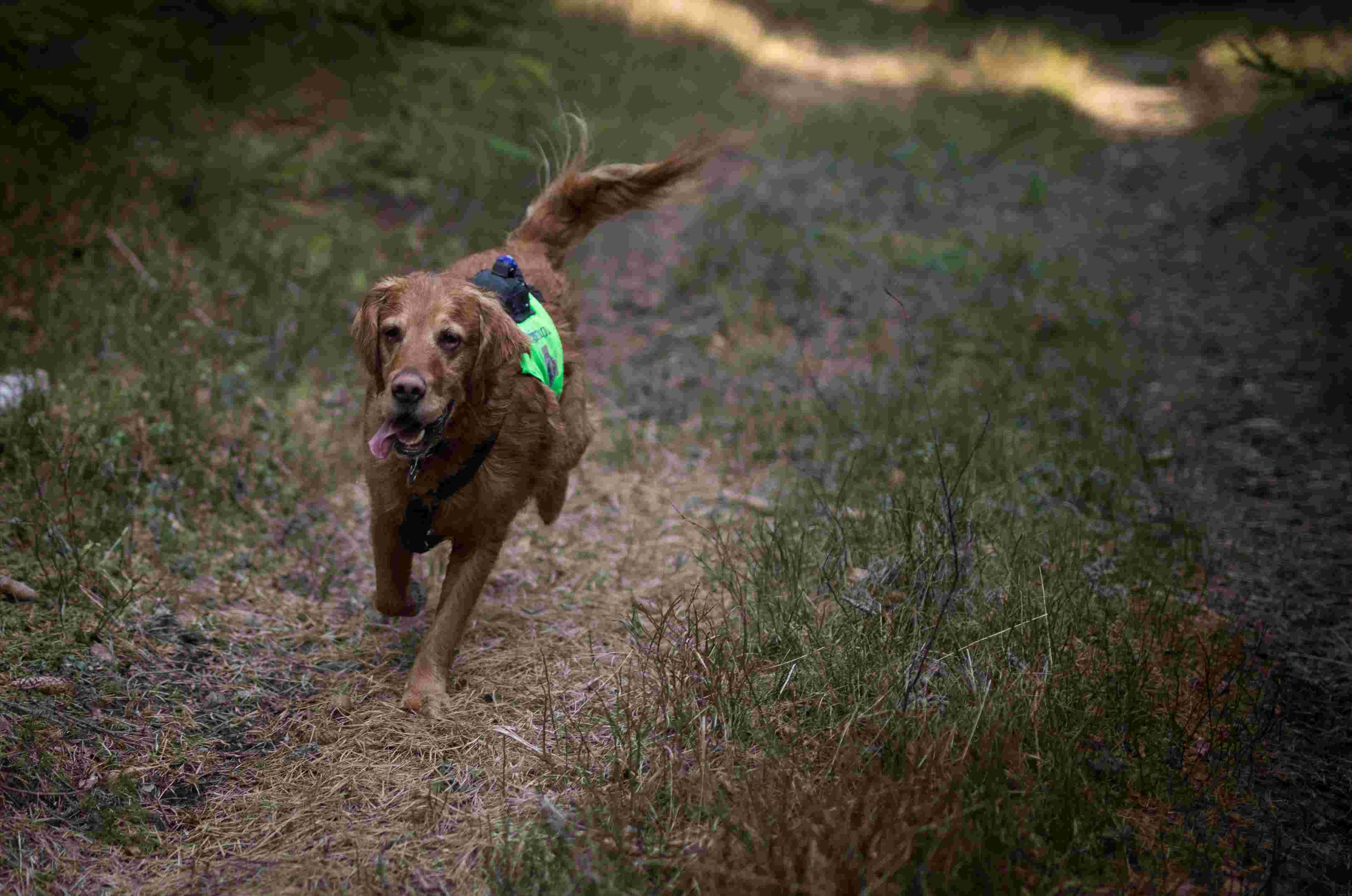 Hunden Iver løper i skogen