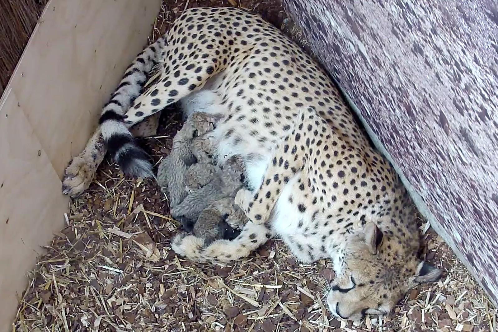 Gepardunger i Dyreparken