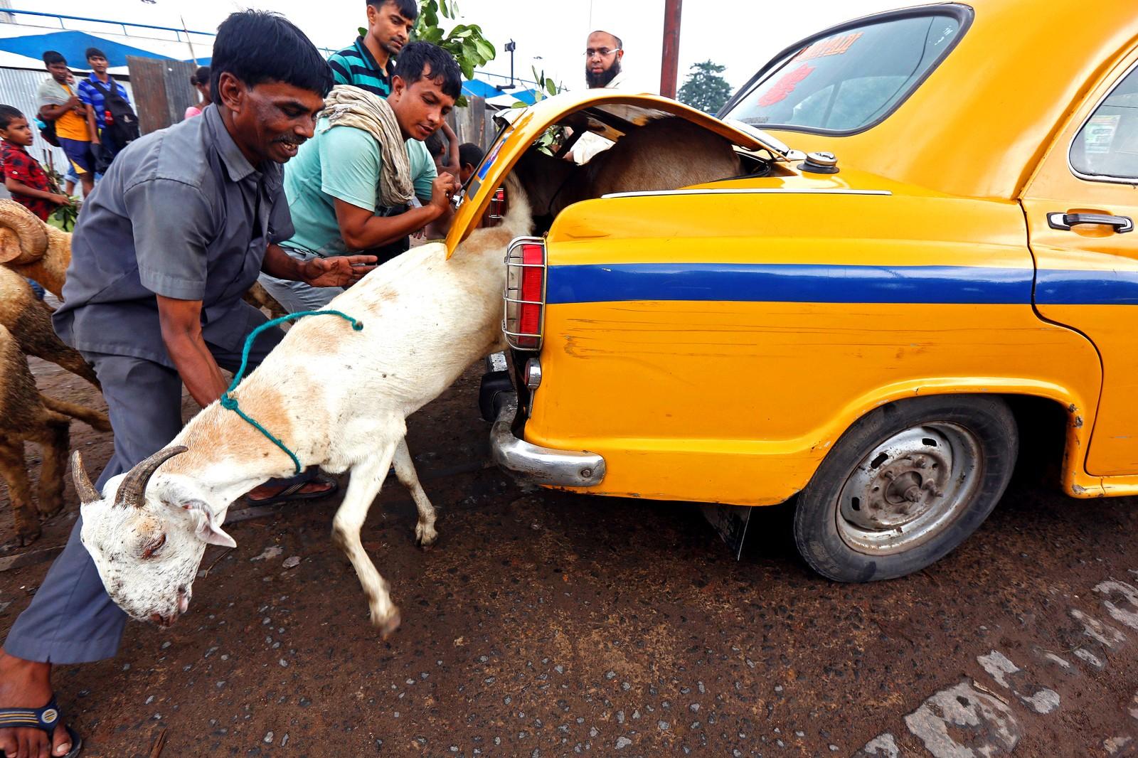En geit forsøker forståelig nok å rømme fra bagasjerommet til en drosje. Geita har nettopp blitt kjøpt på et marked i Kolkata i India den 8. september.