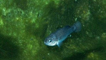 Devils Hole pupfish