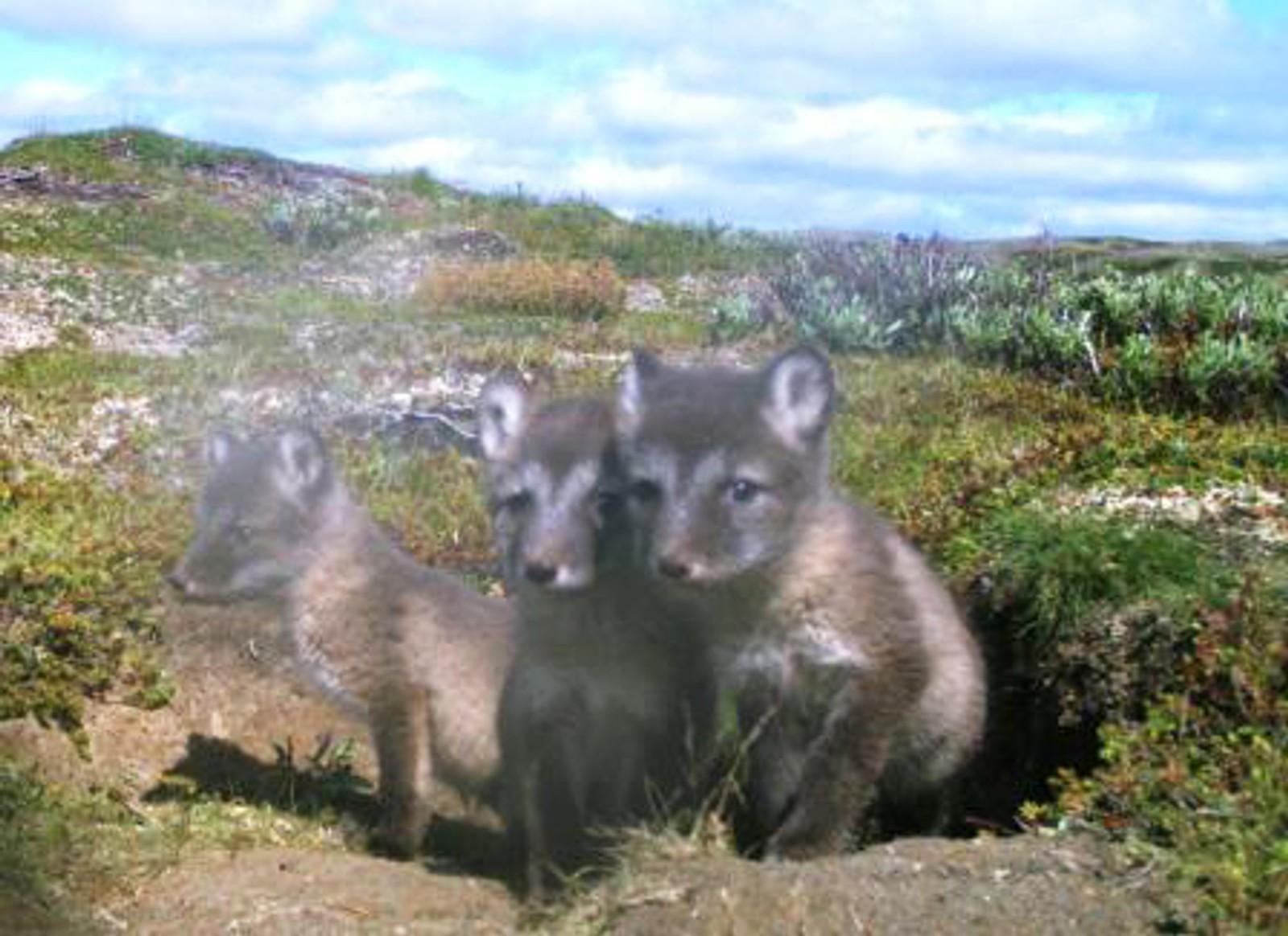 Tre små titter frem. det er minst 50 år siden sist det ble født fjellrevvalper i Forollhogna nasjonalpark.