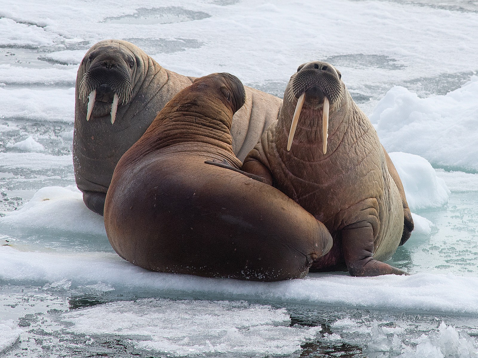 SKARPE TENNER: Hvalrossen er den største selen i Arktis. De karakteristiske, store støttennene kan hos hannene bli over en meter lange og veie fem kilo. Hvalrosser finner mat på havbunnen nedenfor iskanten.