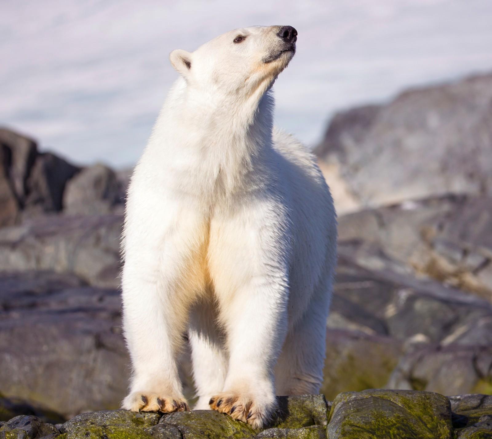 Turistfølget så over 30 isbjørner på den to uker lange ekspedisjonen. - Mange av dem virket å være i god form, sier Svein Wik.
