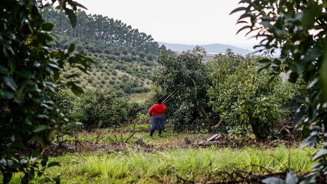 Avocadobonde i Sør-Afrika