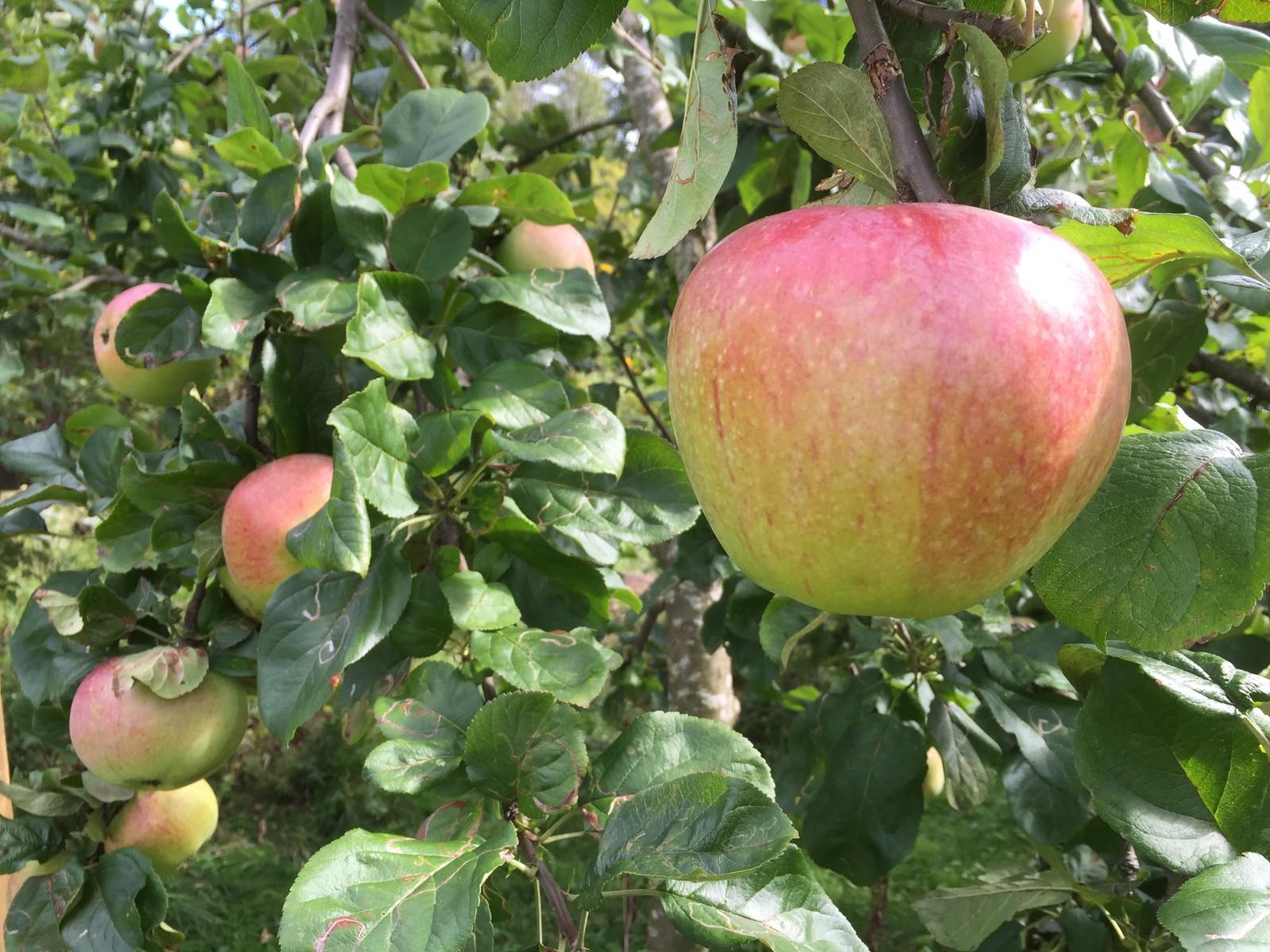 Saftige epler.