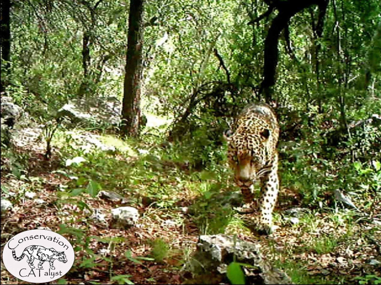 Det første bildet av det som skal være USAs eneste ville jaguar, ble vist fram denne uka. Bildet er tatt i fjellområdet El Jefe i nærheten av Tucson, Arizona.
