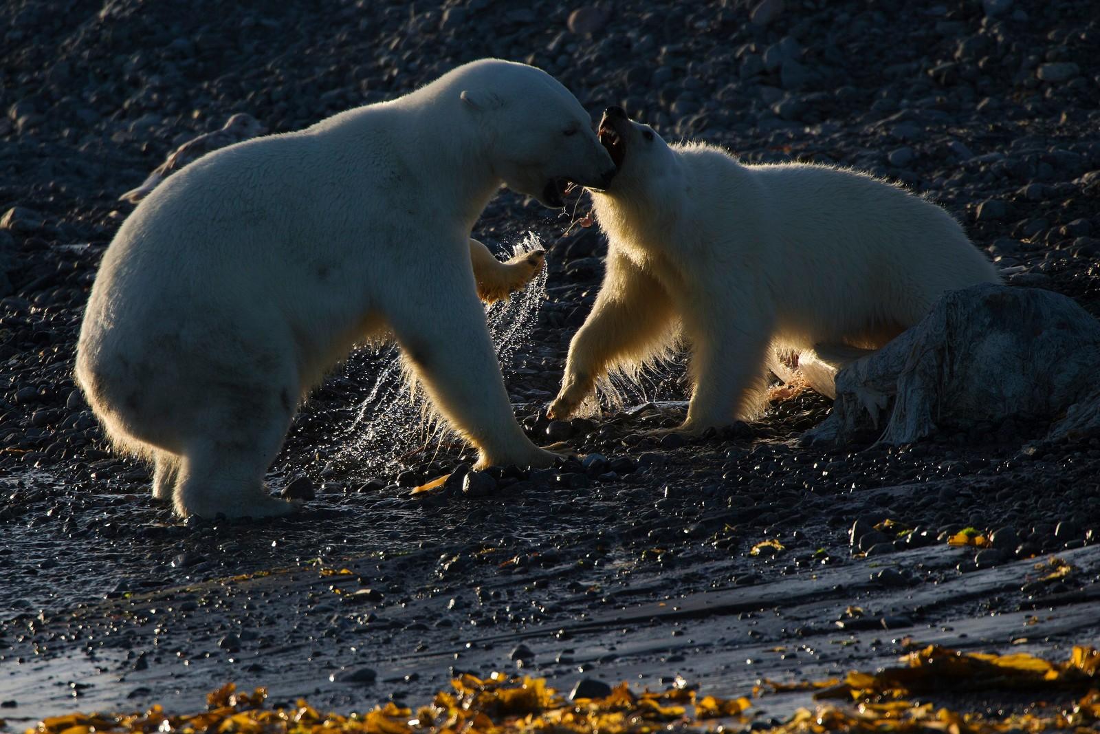 Fra båten kunne Svein Wik og resten av følget observere hvordan isbjørnene kranglet over restene av en hval.