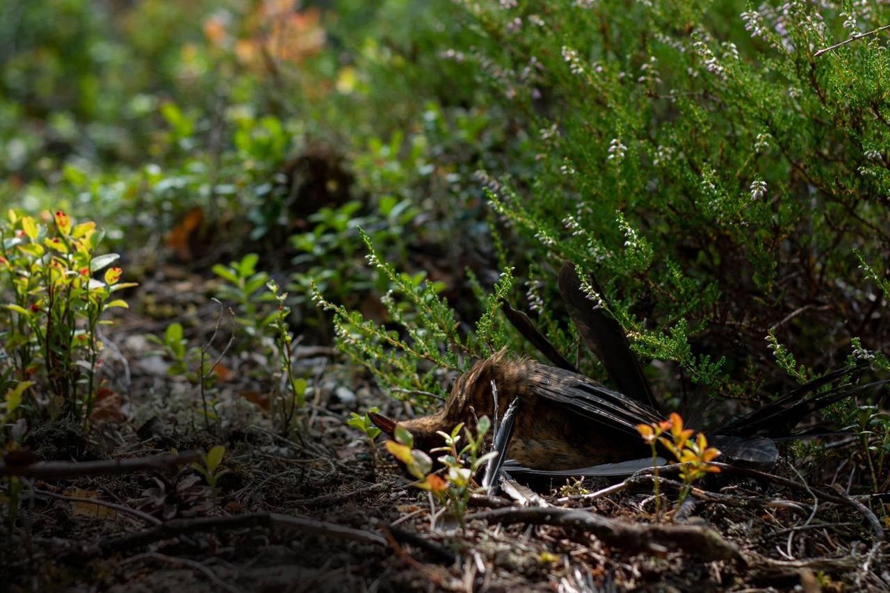 En død fugl ligger på bakken i skogen. Underkroppen peker mot oss. Hodet ligger bakover og peker mot himmelen. Den er omgitt av små blåbærbysker og lyng. Det ene bladet til blåbærbusken dekker øynene til fuglen.