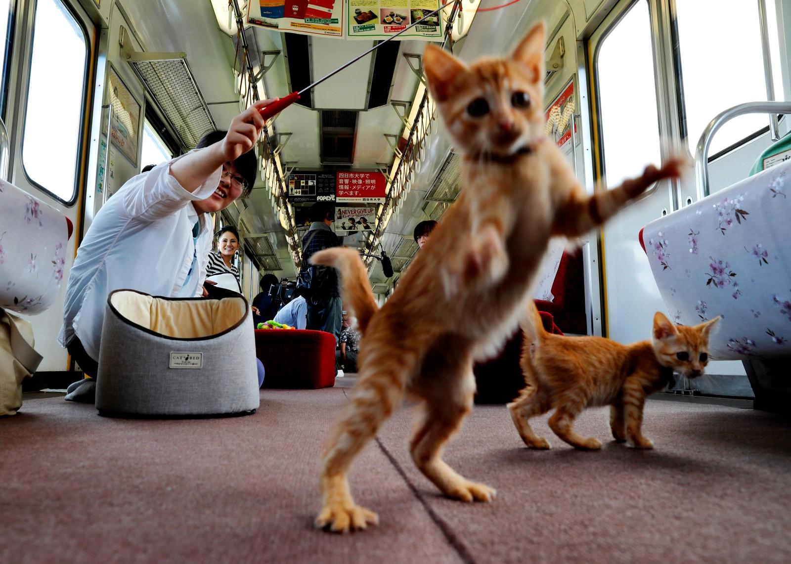 En passasjer leker med katter i en togkattecafé i Ogaki i Japan.