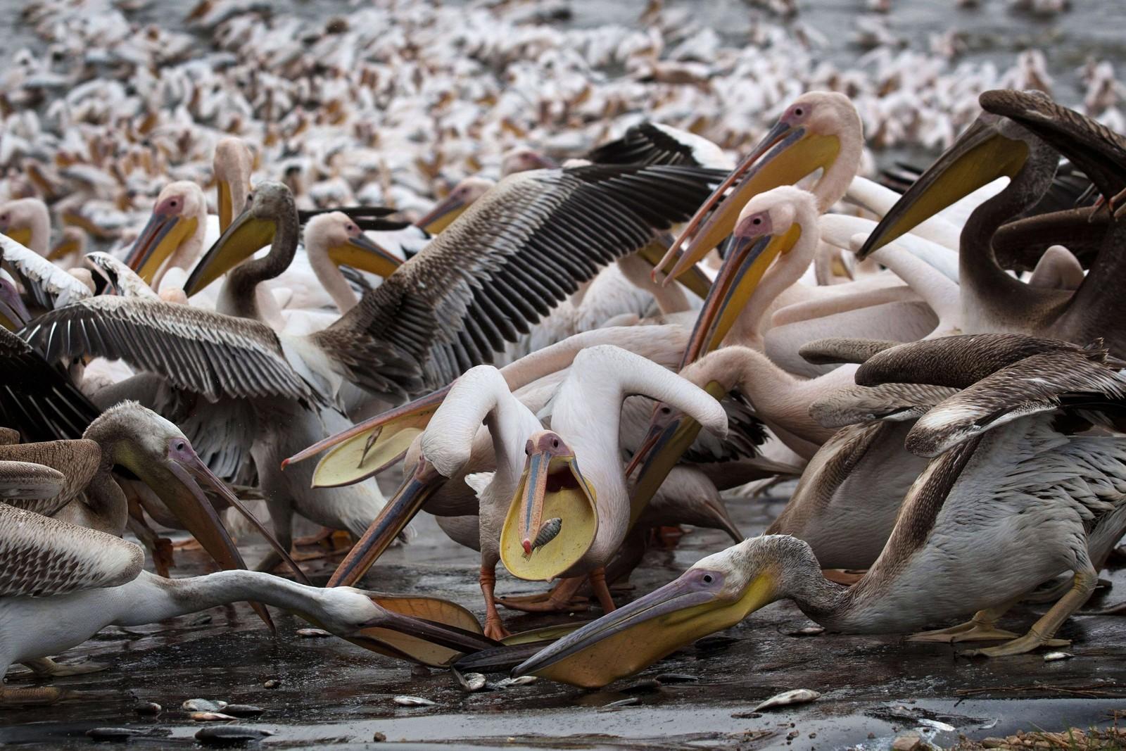 Tusener av pelikaner kjemper om fisk i Emek Hefer i Israel. de mange fuglene passerer Israel på vei til Afrika, der de skal tilbringe vinteren.