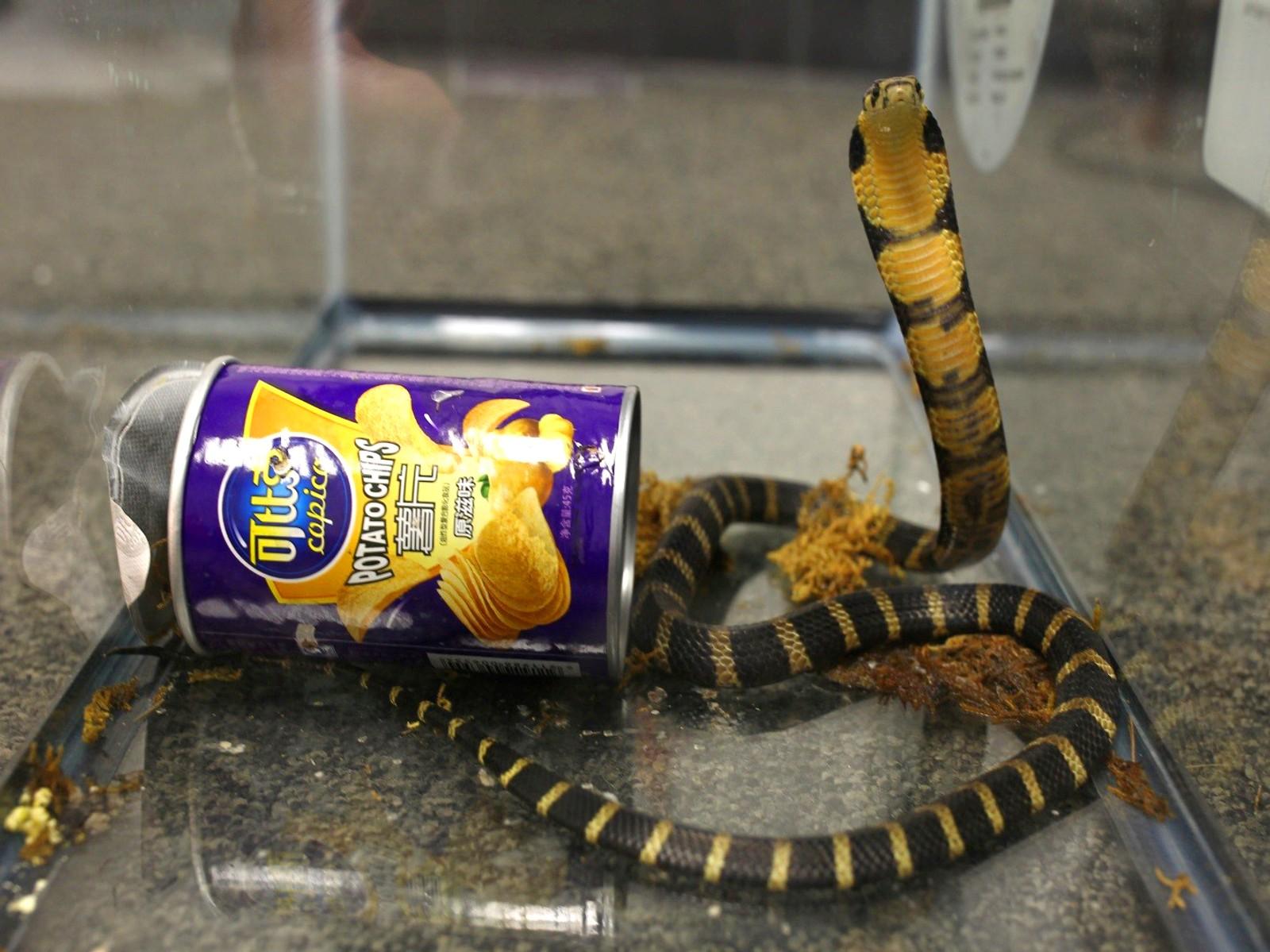 En mann ble arrestert denne uka i Los Angeles. Han skal visstnok ha forsøkt å smugle kongekobraer inn i USA ved hjelp av potetgullbokser. Kongekobraen er verdens lengste giftige slange. Den kan bli opp mot seks meter lang.