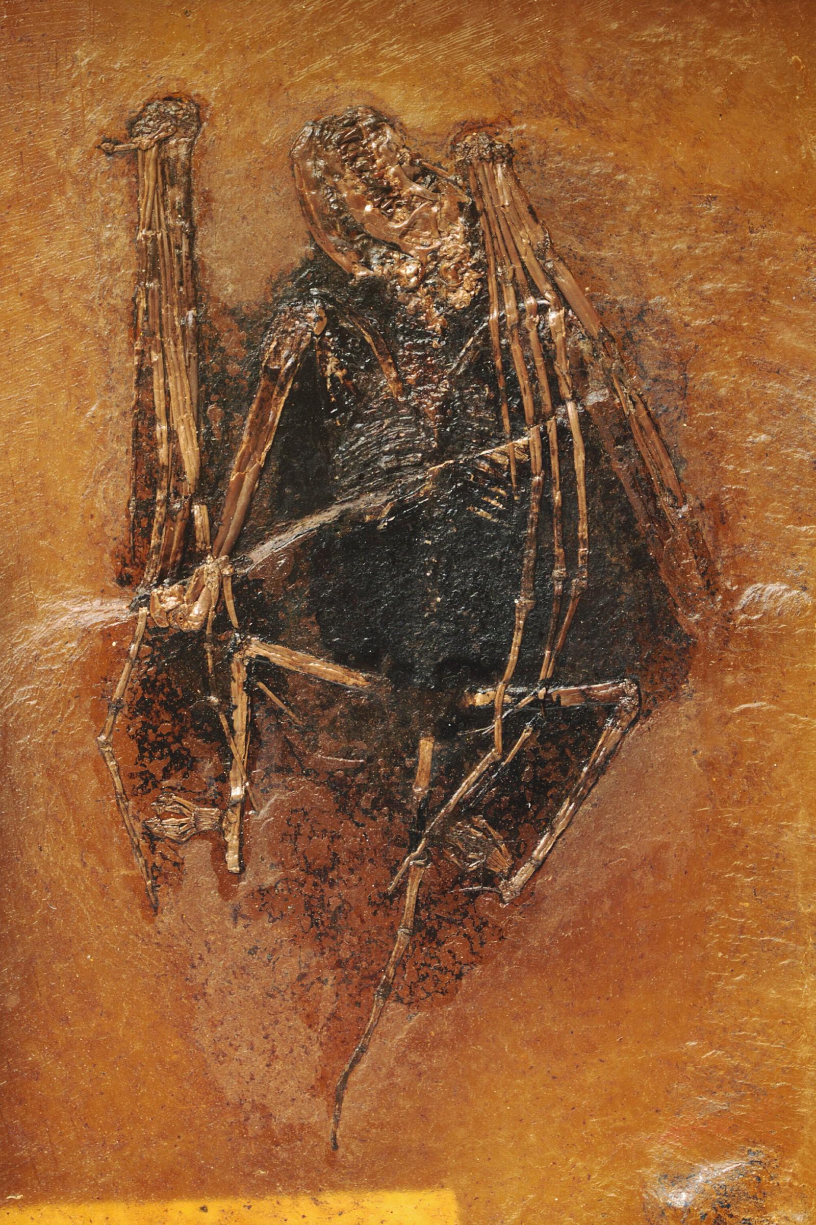 Denne fossilen med navnet Palaeochiropteryx, skal være over 49 millioner år gammel, og ble funnet i Messel, Tyskland.