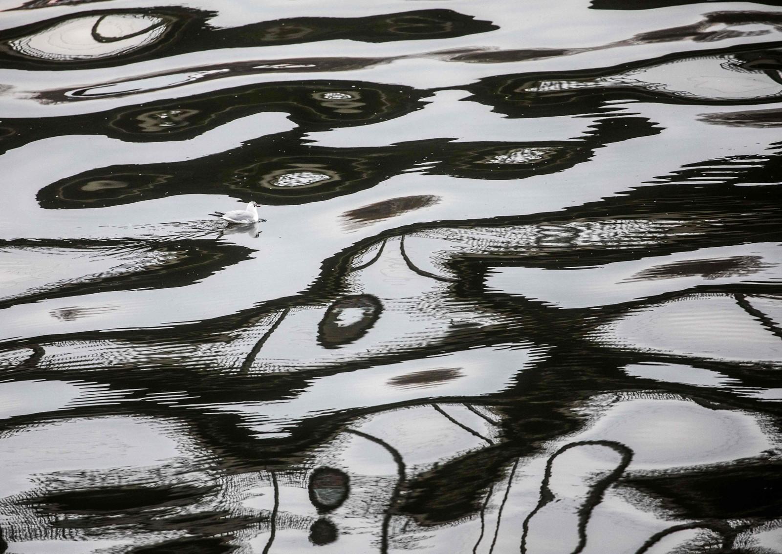 En måke svømmer i speilbildet av en bru på elven Maine i Frankfurt.