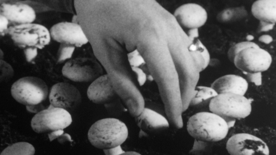 Sjampinjong - en kulturvekst i mørket