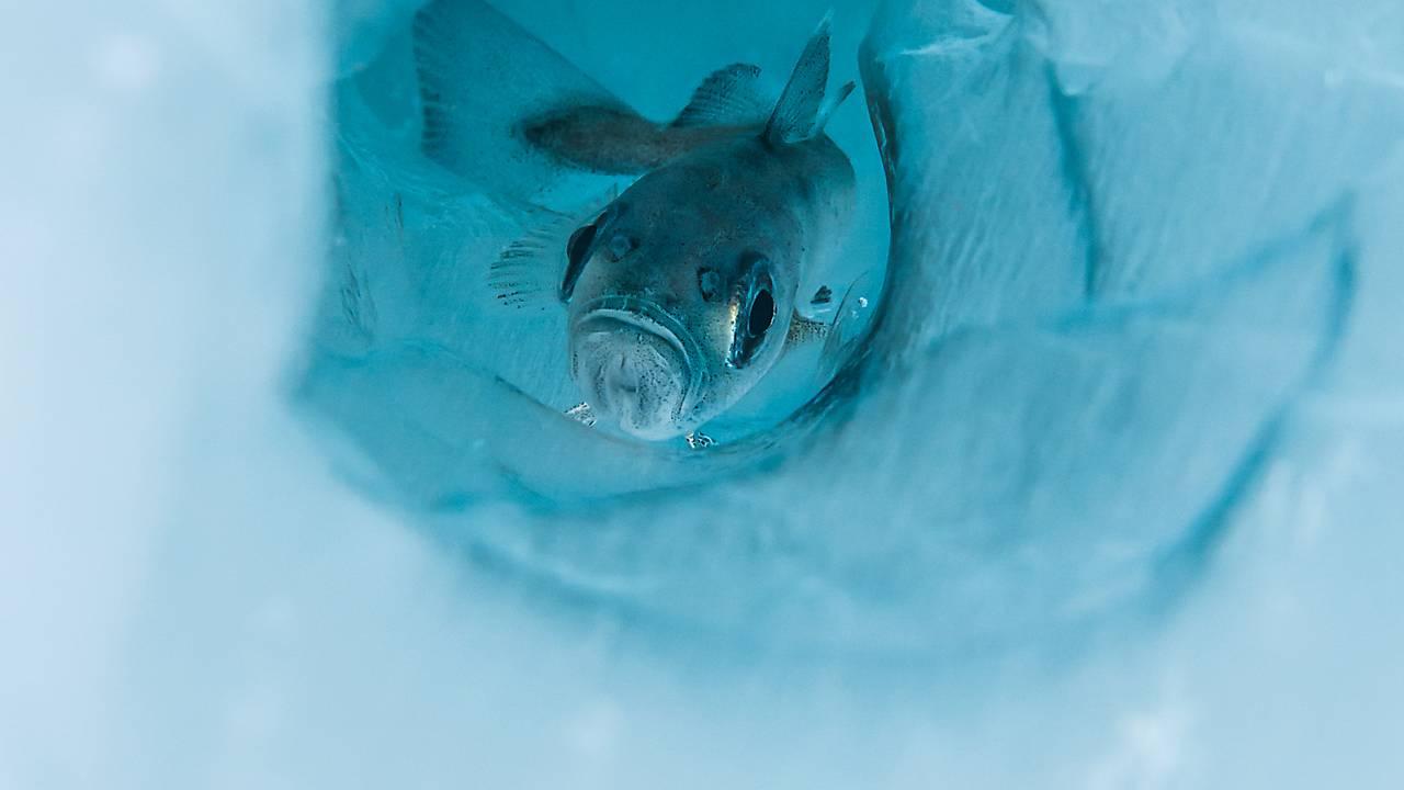 En polartorsk svømmer mot kamera, gjennom et hull i havisen i Barentshavet
