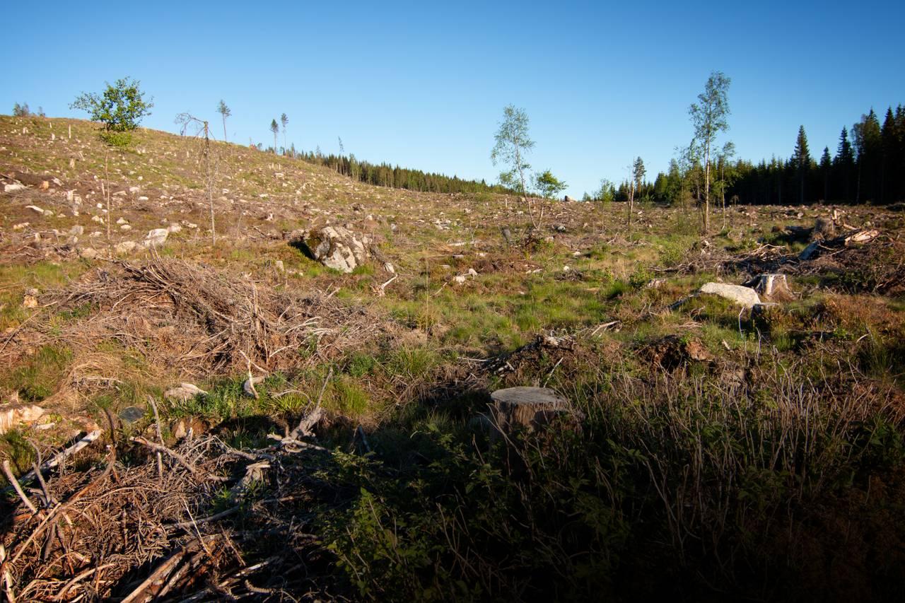 Skogen som en gang var der er hogd ned. Bare en masse tørre stubber stikker opp av bakken. Det er et tørt og sterilt landskap.