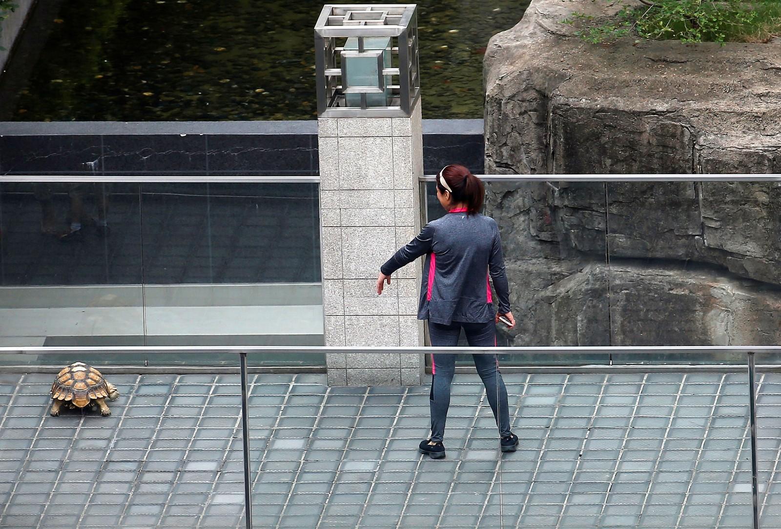 Kom da! Man bør beregne god tid hvis man skal gå en tur med kjeleskilpadden sin. Bildet er tatt i Shanghai i Kina.