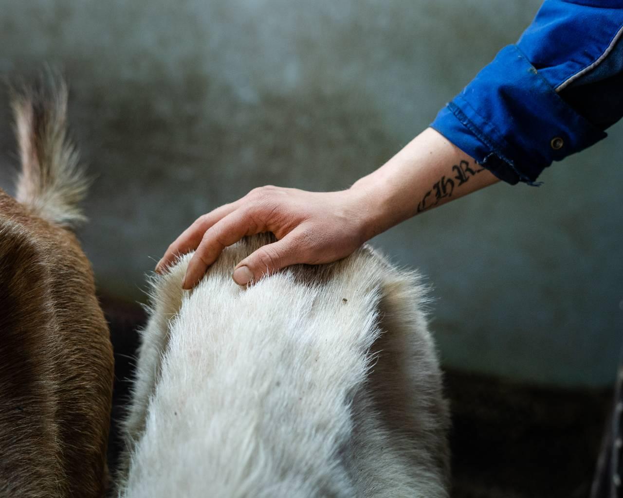 Christian koser med en av geitene som skal bli melket.