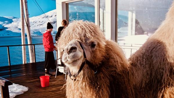 Torarin og Svalin ønsker seg hest. Isteden får de kamel. Norsk dokumentarfilm i 3 deler.