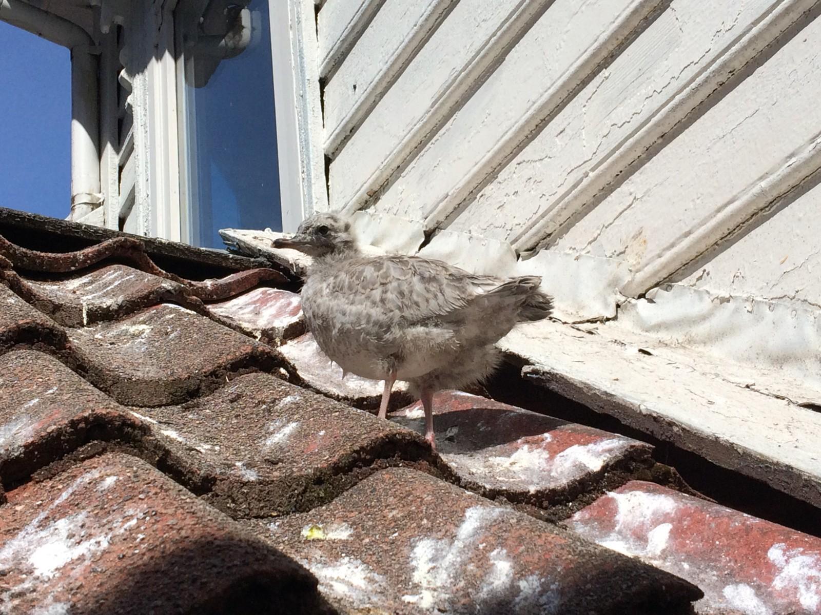 BARNEVAKT: Fuglen Christian har bodd på Sanja Blazevics nabos tak i over fire uker.