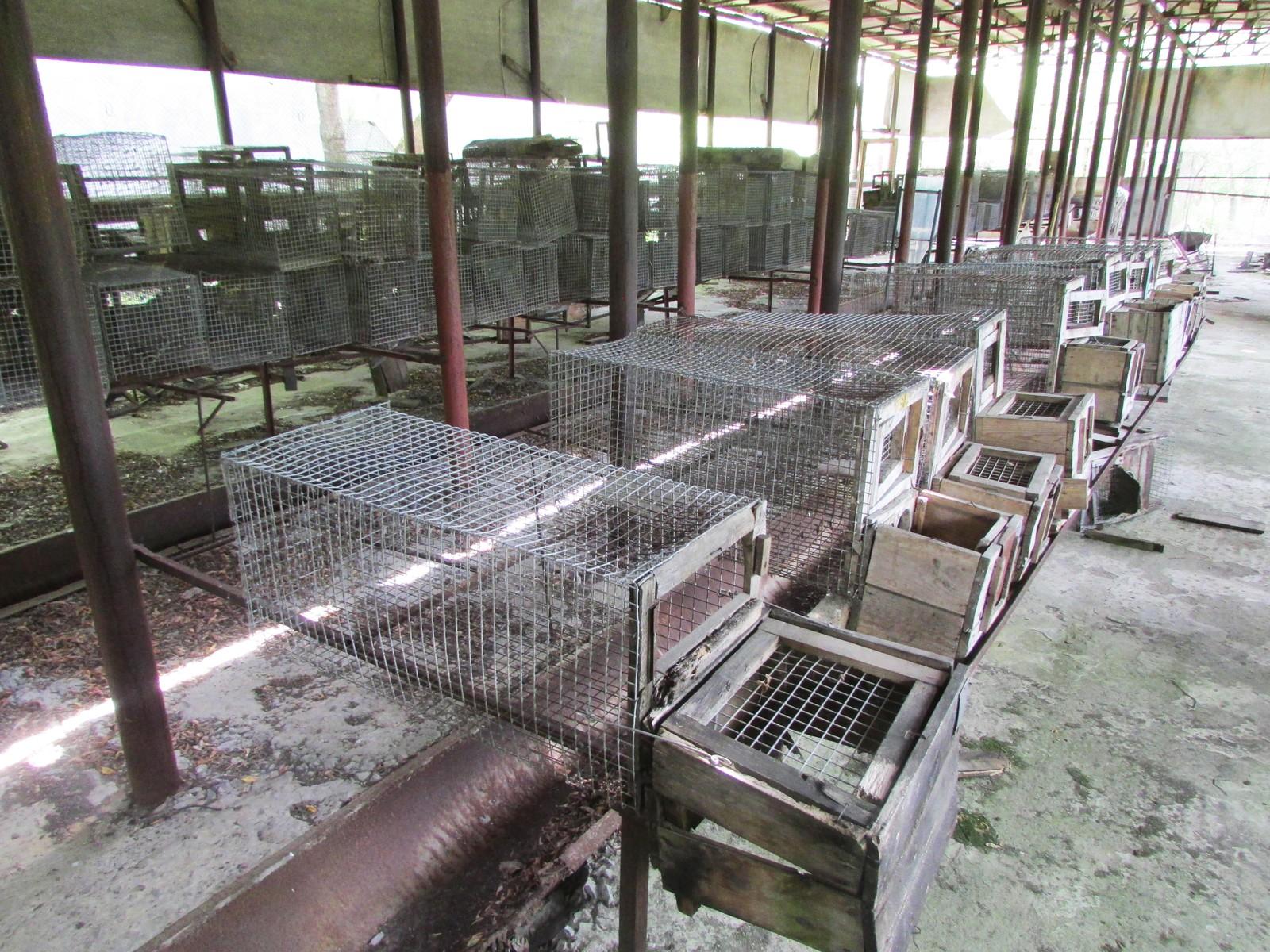 Dyr i bur ble forsket på i de første årene etter eksplosjonen i 1986.