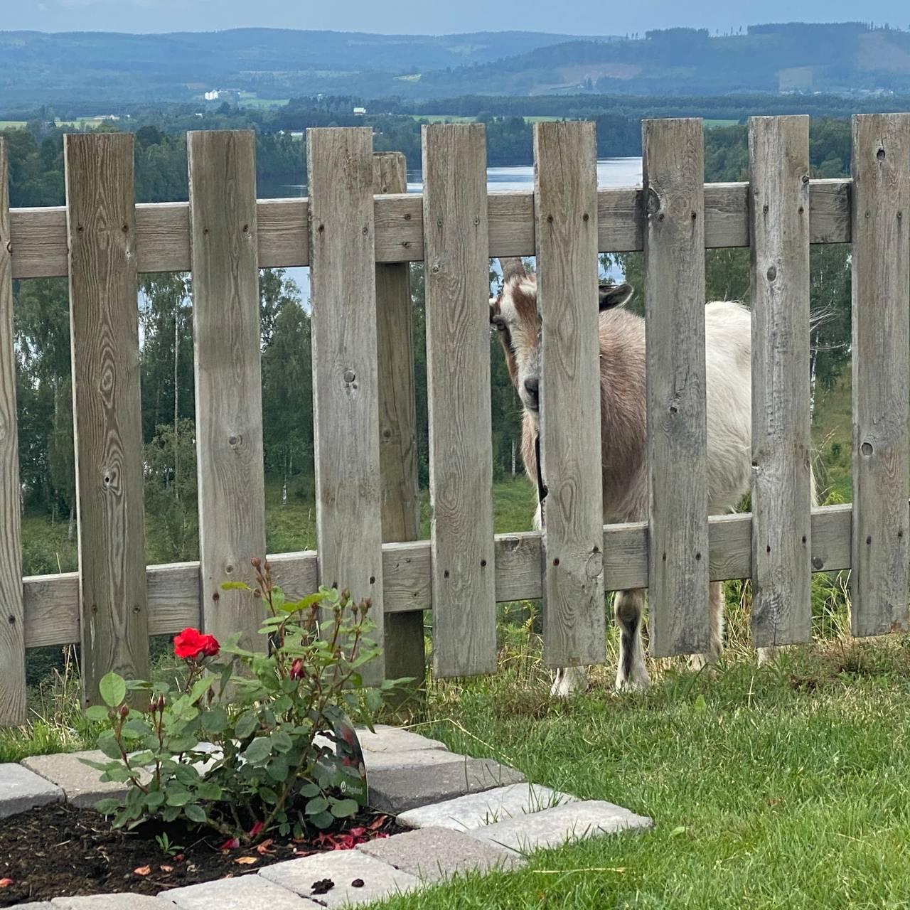 En geit står bak et gjerde.