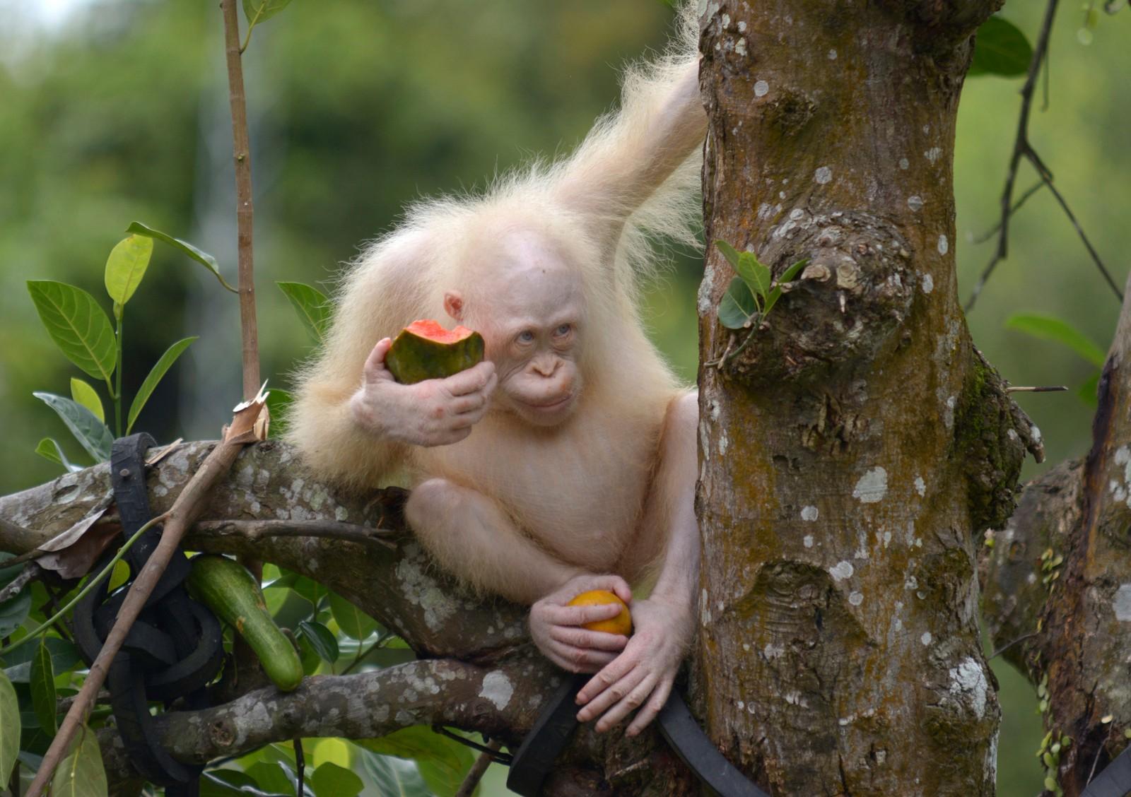 Vannmelon og appelsin. Hva mer kan verdens eneste albino-orangutang med eget reservat ønske seg?