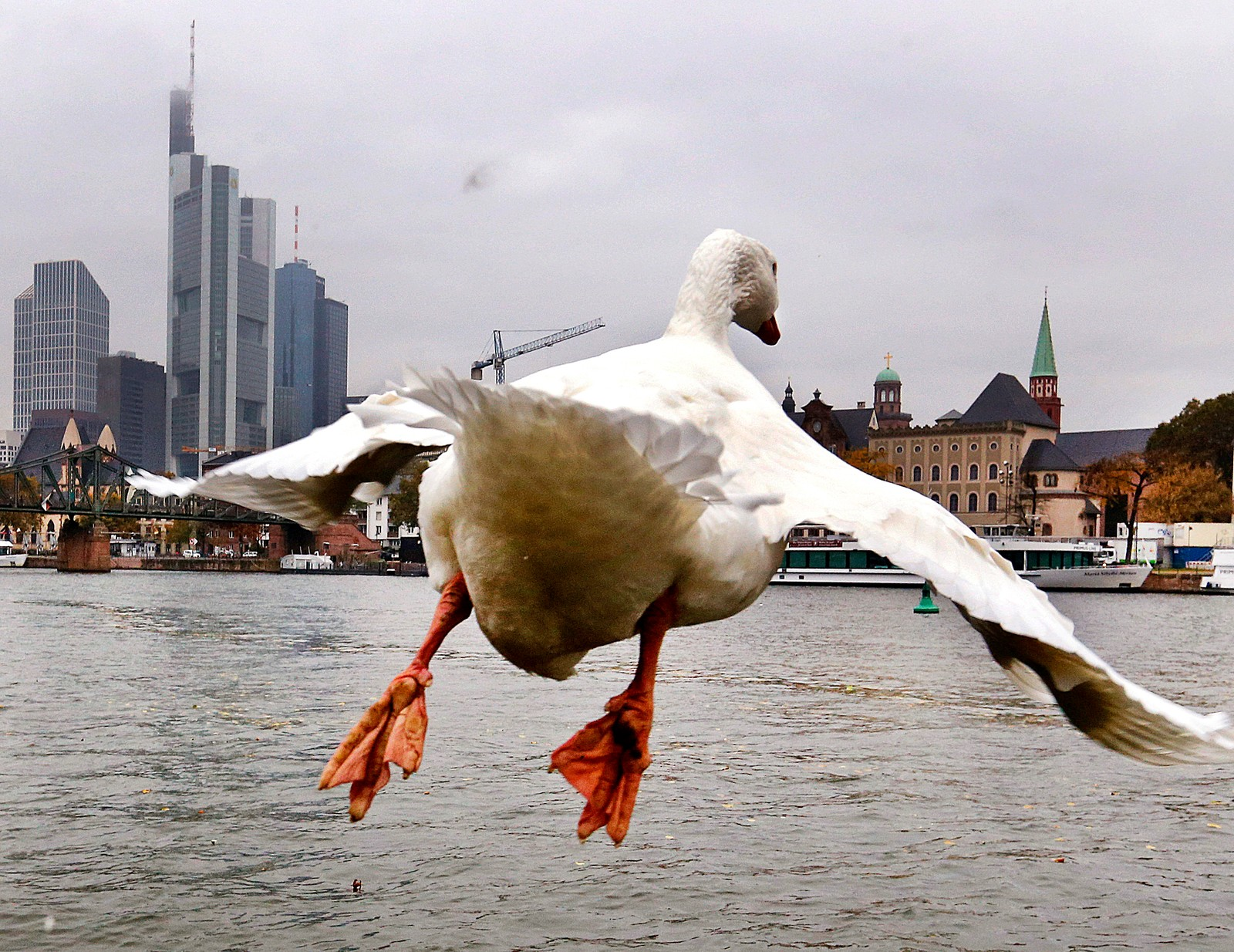 En gås tar av i Frankfurt i Tyskland.