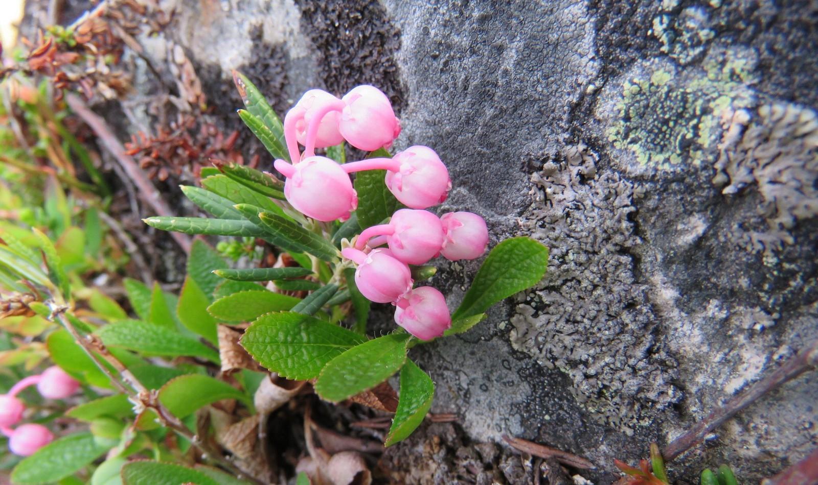 Blomstring i Trollheimen