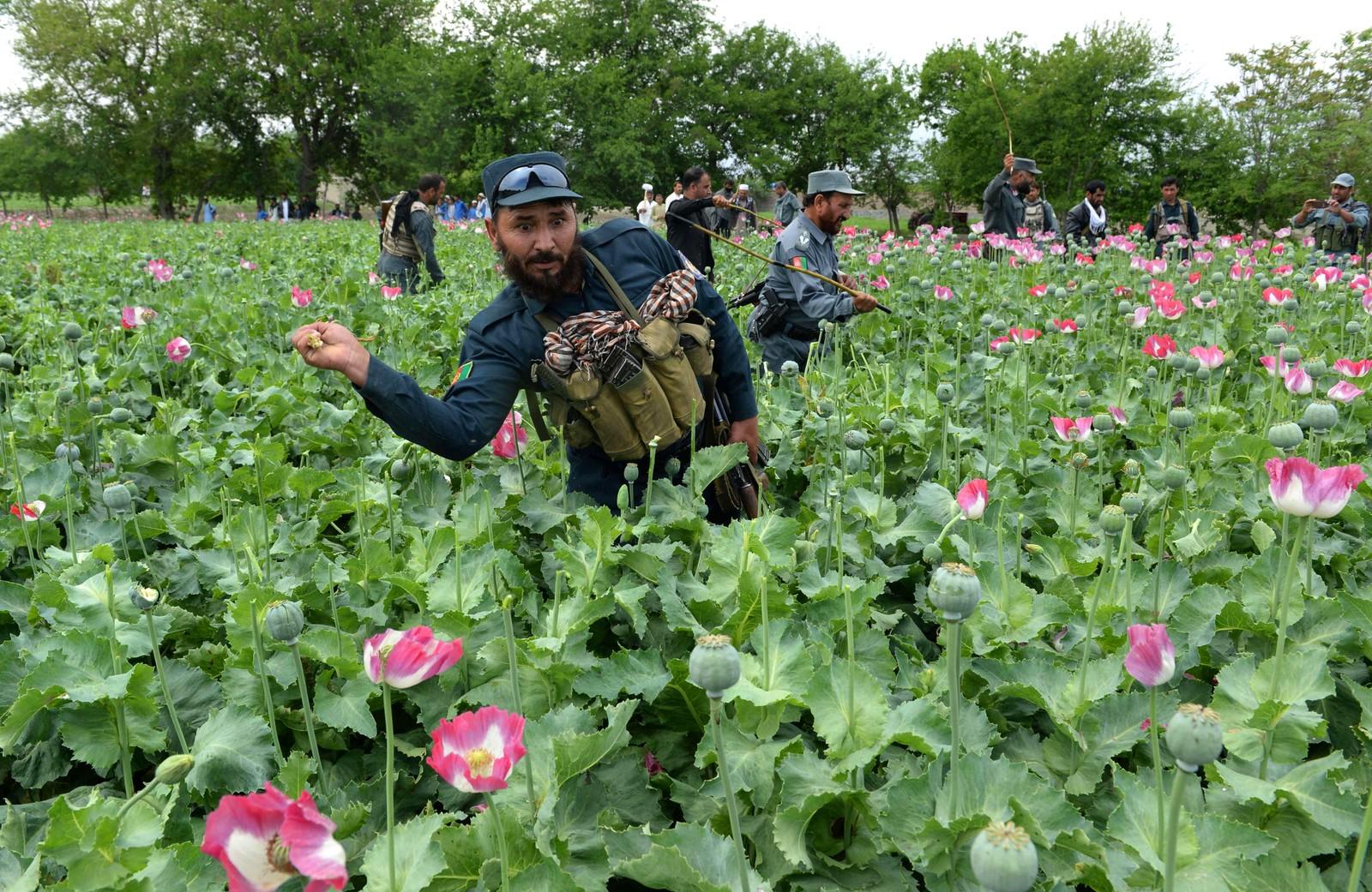 Afghansk sikkerhetspersonell ødelegger en ulovlig opiumsåker i Surkh-Rōd.