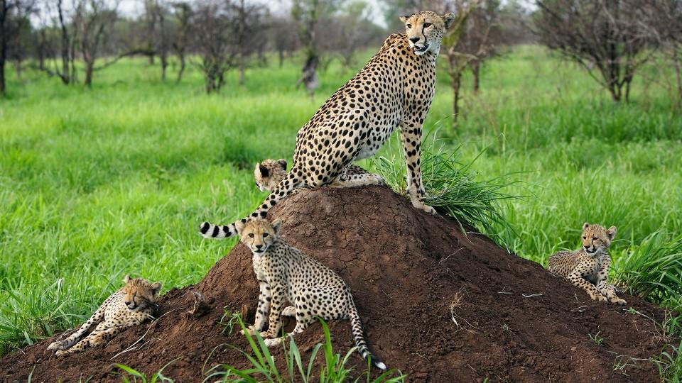 Gepardfamilien