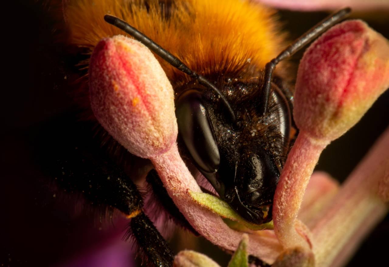 Nærbilde av en humle som hviler hodet sitt mellom to blomsterknopper. Den ser sliten ut.