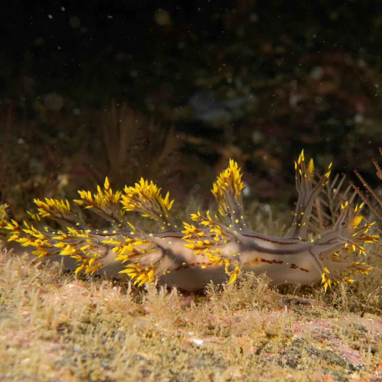 Den nye arten av nakensnegl, Dendronotus yrjargul,