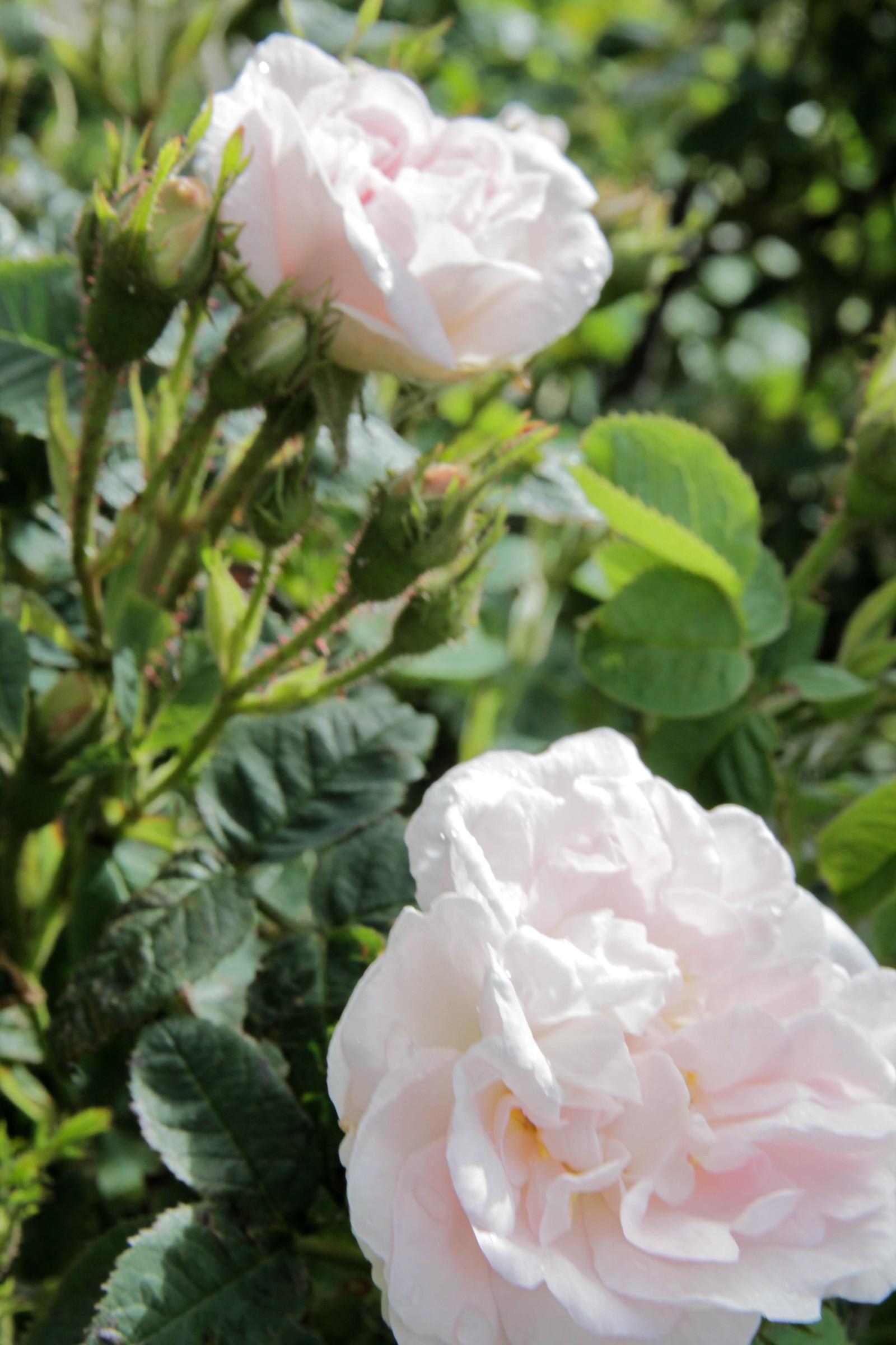 Roser av ulike slag fyller hagen.