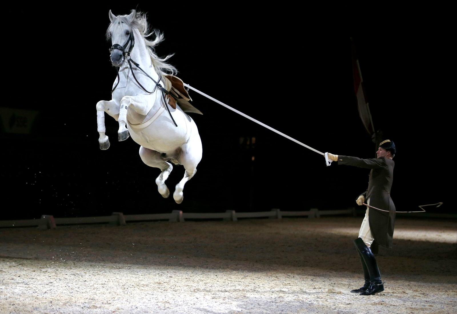 Hest og rytter fra Den spanske rideskolen i Wien før en forestilling i London.