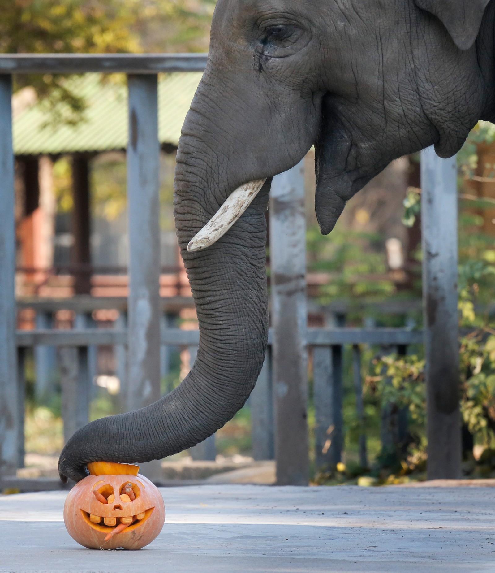 En elefant i dyrehagen i Kiev gjør klar til Halloween.