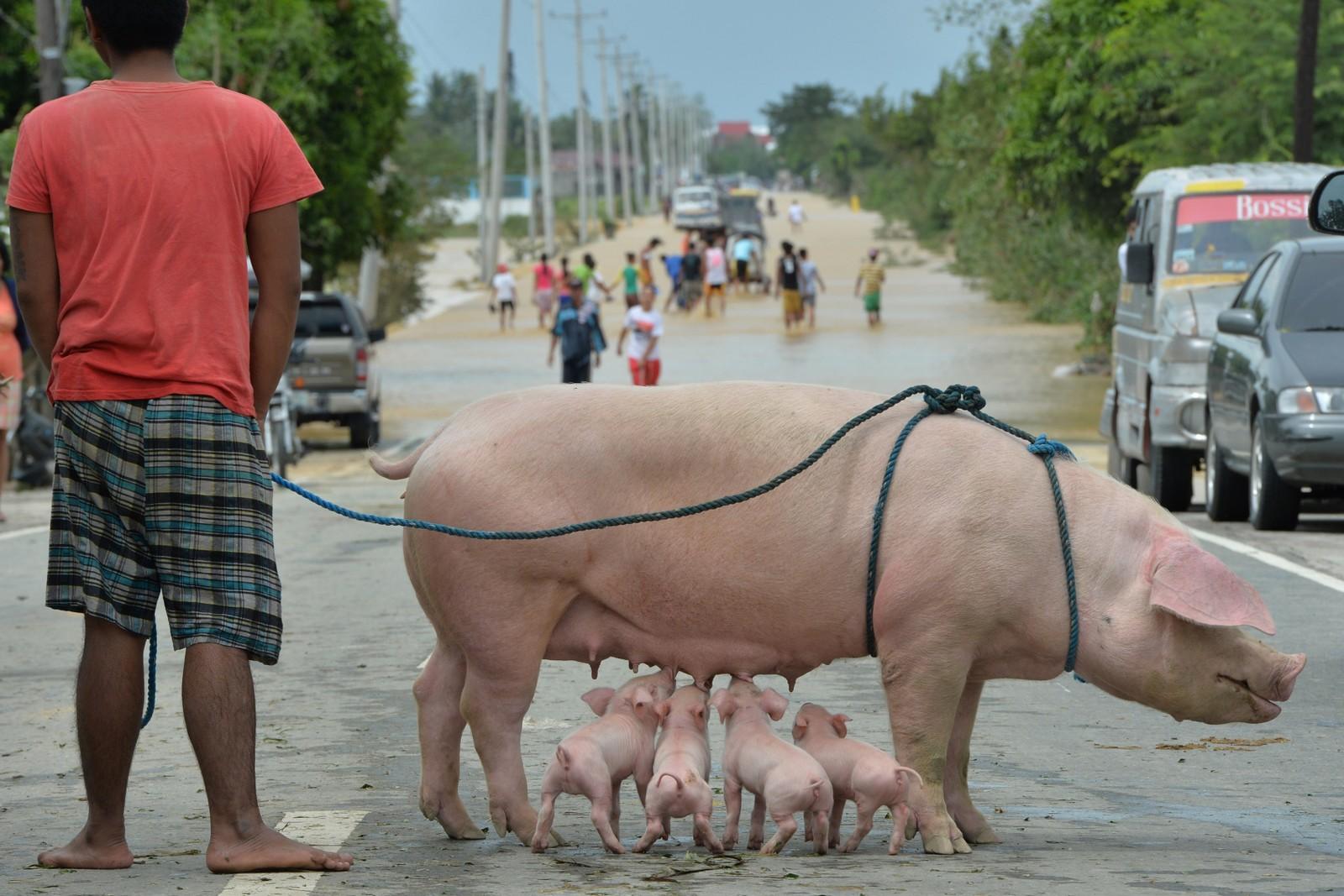 En mann og hans griser har kommet seg i sikkerhet i flomrammede Santa Rosa nord for Manila. Tyfonen Koppu skapte store problemer i regionen i oktober.