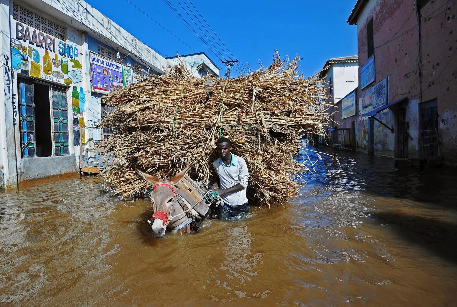 En mann og hans esel vasser gjennom flomramma områder av byen Beledweyne, nord i Somalia. Hundrevis av familier har blitt evakuert etter at voldsomme regnskurer har ført til flom denne uka.