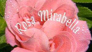 Rosa Mirabella