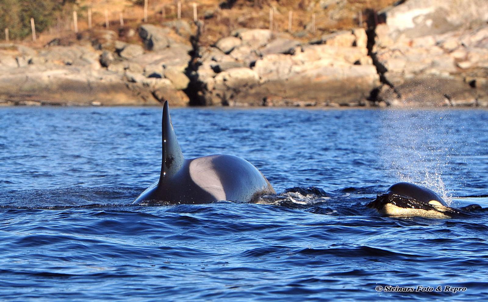 LEIK: Ein spekkhoggarfamilie på åtte individ synte seg fram i Vilnesfjorden i Sunnfjord søndag.