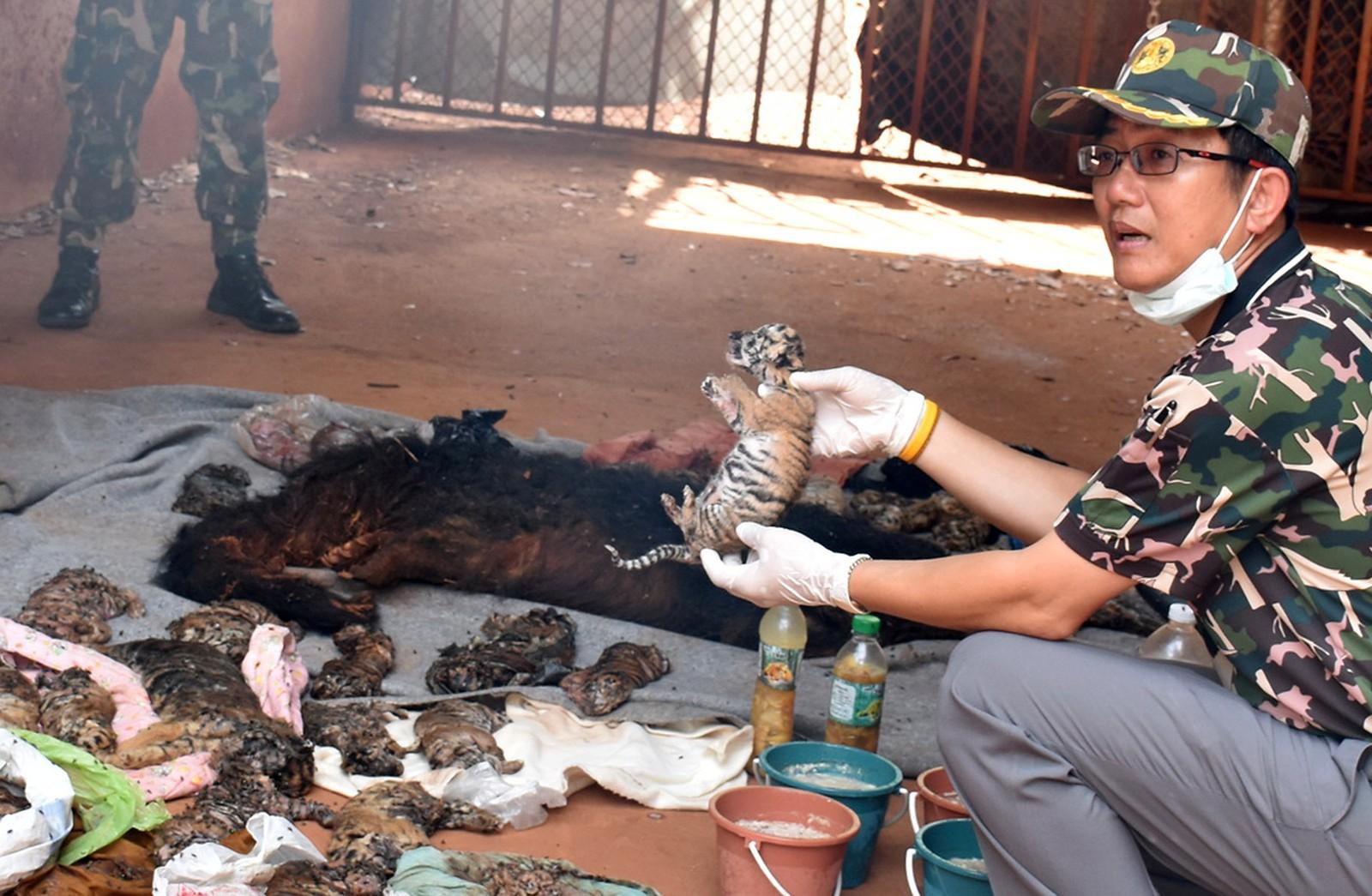 En død tigerunge holdes opp av en thailandsk tjenestemann etter razziaen i tigertemplet.